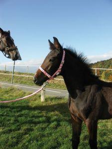 Paardenhalster nylon pink Veulen (00)