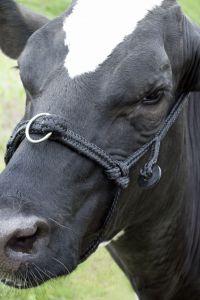 Jongvee halster verstelbaar black