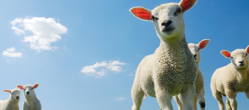 Schapenstalinrichting en schapenbenodigdheden